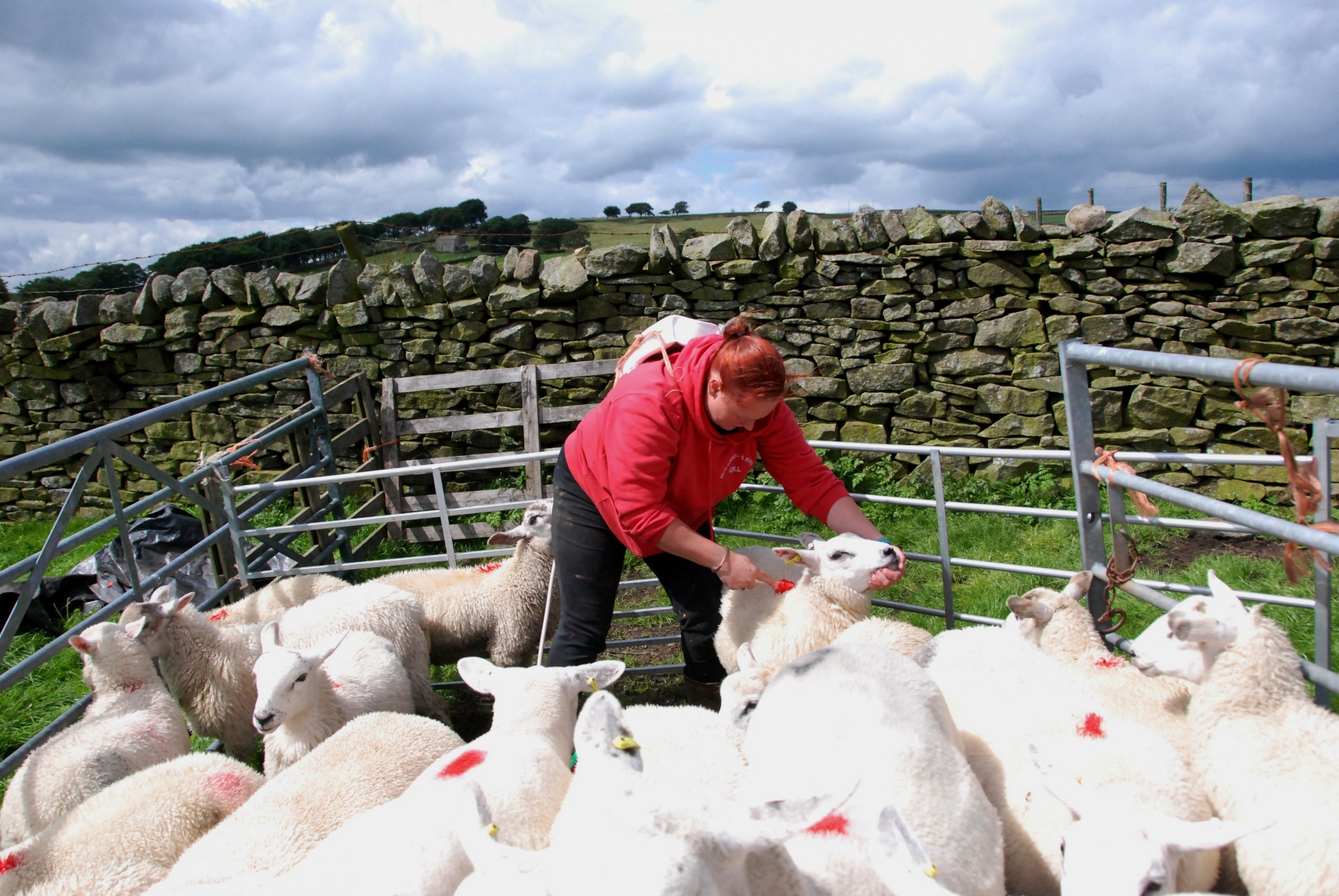 CRAVEN FARMER JOINS CAMPAIGN TO STAMP OUT SHEEP RUSTLING