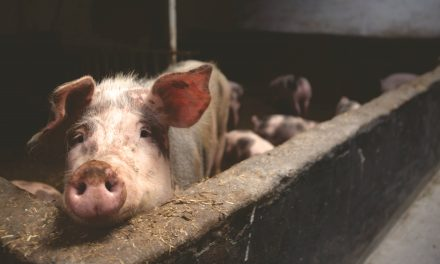 New nutrient data reflects pig production changes