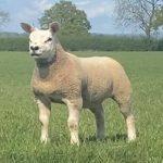 Texel Ewe Lamb shines in virtual Sheep Show!