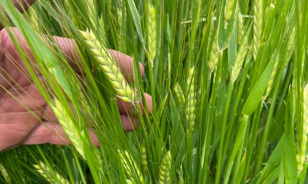 CRIMPING SOLVES CHALLENGES OF UNEVENLY RIPENED SPRING CEREALS